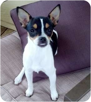 Boston Terrier/Rat Terrier Mix Puppy for adoption in Longview, Texas - Faith