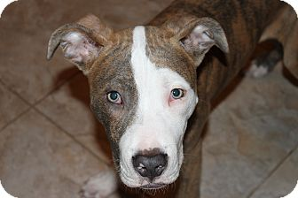 American Pit Bull Terrier/Boxer Mix Puppy for adoption in West Palm Beach, Florida - MAVERICK