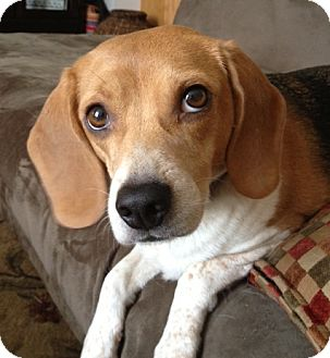 Beagle Dog for adoption in Minnetonka, Minnesota - Penny