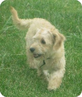 Dachshund/Poodle (Miniature) Mix Puppy for adoption in Prole, Iowa - Mickey