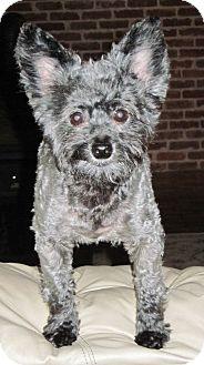 Yorkie, Yorkshire Terrier/Poodle (Miniature) Mix Dog for adoption in Washington, D.C. - Jessie
