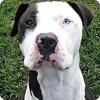 Adopt A Pet :: Bruce SUPER URGENT - Sacramento, CA