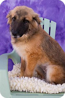 Shepherd (Unknown Type) Mix Puppy for adoption in Fort Lupton, Colorado - Daisy
