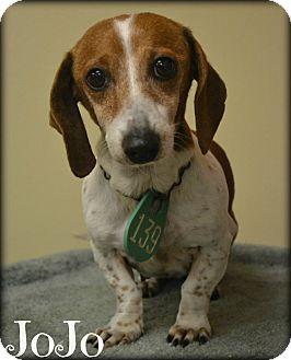 Dachshund Mix Dog for adoption in Beaumont, Texas - JoJo
