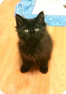 Domestic Longhair Kitten for adoption in China, Michigan - Nog