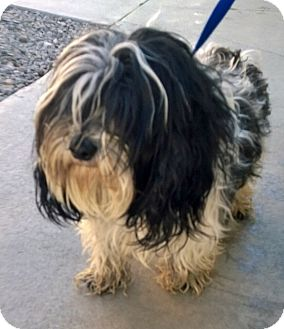 Lhasa Apso Mix Dog for adoption in La Canada, California - Luke