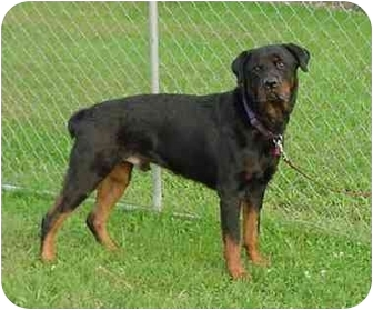 Rottweiler Dog for adoption in Austin, Minnesota - Ike
