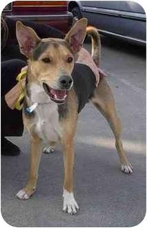 German Shepherd Dog Mix Dog for adoption in dewey, Arizona - Katie
