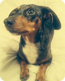 Dachshund Mix Dog for adoption in San Diego, California - Rocket