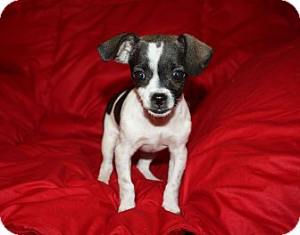 Chihuahua/Terrier (Unknown Type, Small) Mix Dog for adoption in Henderson, Nevada - Claire