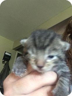 Domestic Shorthair Kitten for adoption in Huntley, Illinois - Windsor