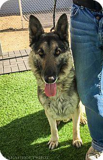 German Shepherd Dog Mix Dog for adoption in Phoenix, Arizona - Prince