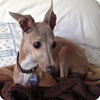 Adopt A Pet :: Amber - SD - Costa Mesa, CA
