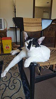 Domestic Shorthair Cat for adoption in Tanner, Alabama - Blaze