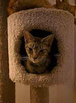 Domestic Shorthair Cat for adoption in Smyrna, Georgia - Gracie
