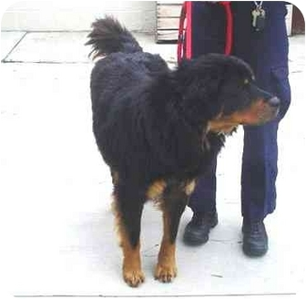 Bernese Mountain Dog Mix Puppy for adoption in Tracy, California - chief