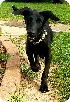 Labrador Retriever Mix Puppy for adoption in DeForest, Wisconsin - Isaac