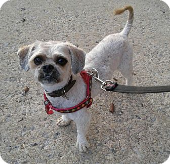 Shih Tzu/Bichon Frise Mix Dog for adoption in Bronx, New York - Chewy