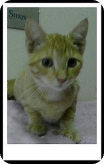 Domestic Shorthair Kitten for adoption in Trevose, Pennsylvania - Humperdink