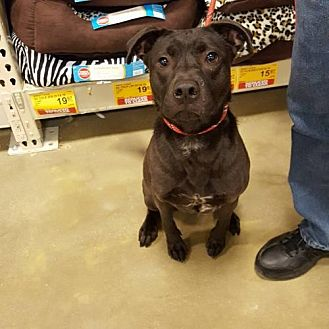 American Staffordshire Terrier/Labrador Retriever Mix Dog for adoption in Godfrey, Illinois - Lucky Liberty