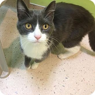 Domestic Shorthair Cat for adoption in Janesville, Wisconsin - Varys