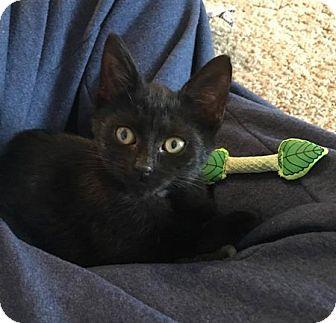 Domestic Shorthair Kitten for adoption in Toledo, Ohio - Nico