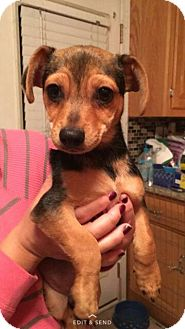 Chihuahua/Dachshund Mix Puppy for adoption in bridgeport, Connecticut - Taco