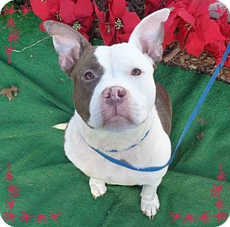 Pit Bull Terrier Dog for adoption in Marietta, Georgia - CUP CAKE