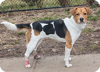 Beagle Mix Dog for adoption in Elmwood Park, New Jersey - Lilly