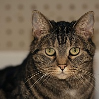 American Shorthair Cat for adoption in Coshocton, Ohio - Smooches