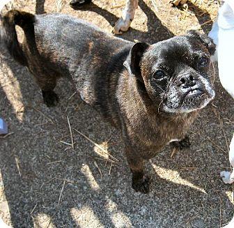 Boston Terrier/Pug Mix Dog for adoption in Tacoma, Washington - Broo