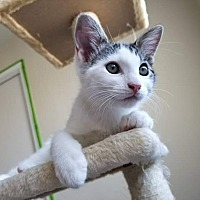 Adopt A Pet :: Merlin - Lancaster, CA