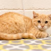 Adopt A Pet :: Presley - Madison, GA