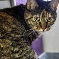Adopt A Pet :: Nyla - Houston, TX