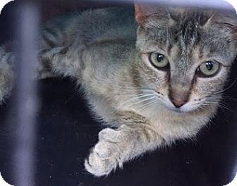 Polydactyl/Hemingway Cat for adoption in LaJolla, California - Joyela