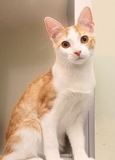 Domestic Shorthair Kitten for adoption in Charlotte, North Carolina - A..  Mouser