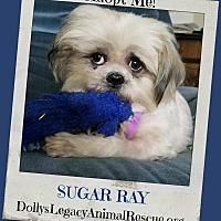 Adopt A Pet :: SUGAR RAY - Lincoln, NE