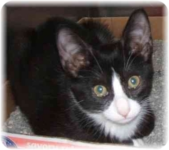 Domestic Shorthair Cat for adoption in Naples, Florida - Sweet Pea