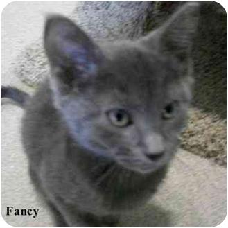 Domestic Shorthair Kitten for adoption in Slidell, Louisiana - Fancy