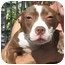 Photo 1 - American Staffordshire Terrier Mix Puppy for adoption in Long Beach, New York - Sophie