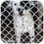 Photo 2 - Dalmatian Mix Puppy for adoption in Mandeville Canyon, California - Noah