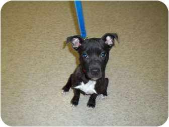 American Staffordshire Terrier Mix Puppy for adoption in Lapeer, Michigan - Ellie