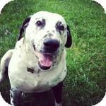 Mastiff/Dalmatian Mix Dog for adoption in Foster, Rhode Island - Bosco ( Gentle Giant)