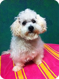 Maltese/Poodle (Miniature) Mix Puppy for adoption in Goleta, California - Sam