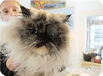 Himalayan Cat for adoption in Davis, California - Shelley