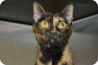 Domestic Shorthair Cat for adoption in Elyria, Ohio - Cleo