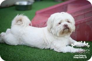 Shih Tzu Mix Dog for adoption in Tustin, California - Dudley