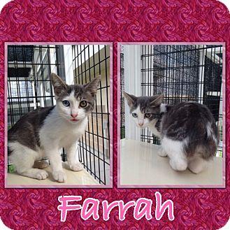 Domestic Shorthair Kitten for adoption in Corpus Christi, Texas - Farrah