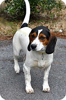 Basset Hound/Beagle Mix Dog for adoption in Salem, New Hampshire - EVA LONGORIA