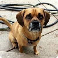 Adopt A Pet :: Caesar - Strasburg, CO